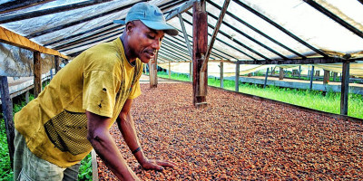 Man working at coffee plantation sorting coffee beans